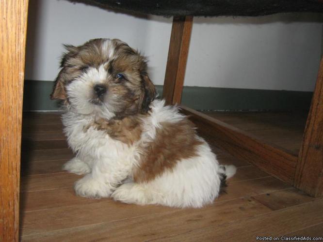 ~~~SHIH-TZU Puppies~~~ - Price: 300