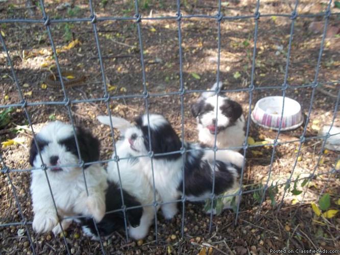 Shih Tzu puppies - Price: 300