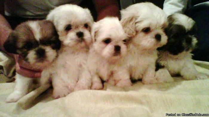 Shih Tzu Puppies Price 450 Or Best Offer For Sale In Odessa