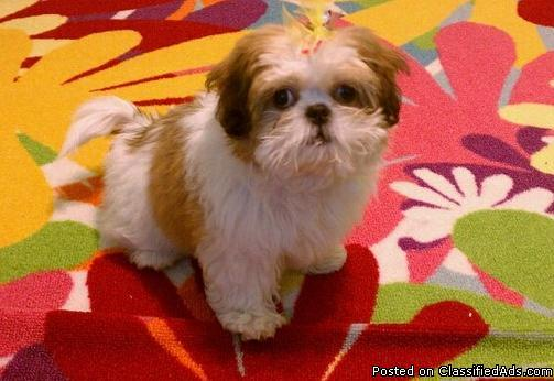 Shih Tzu Puppy For Sale Price 350 For Sale In Birmingham