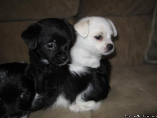 Shihtzu Poodle Mixed With Chihuahua Puppies 6wks Old