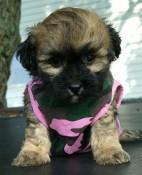 Shihtzu Shiapoo MalShi puppies for sale in VA MD DC - Price: 340