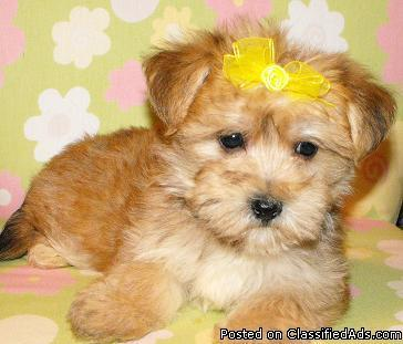 Shorkie and Yorkie puppies for sale Baltimore maryland - Price: 350