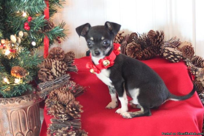 Short coat male chihuahua from merle bloodlines - Price: 500.00