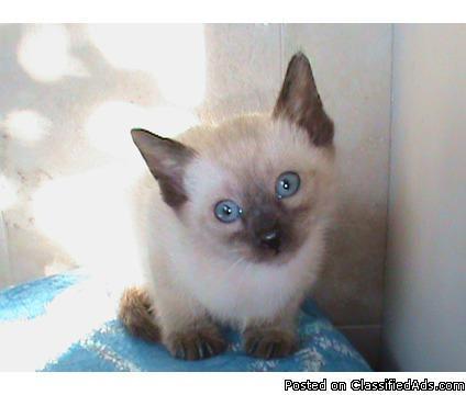 Siamese kitten Christmas litter - Price: 499.00