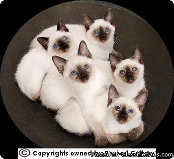 Siamese Kittens - Price: 600 00 for sale in North Andover