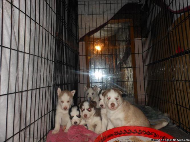 Siberian Husky pups for sale - Price: 400.00