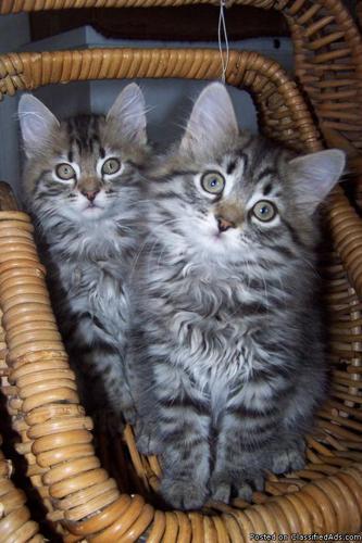 Siberian Hypo-Allergenic Kittens