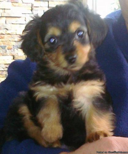 Small Dogs-Dorkie's For Sale(yorkie/mini dachshund mix) - Price: 250 ...