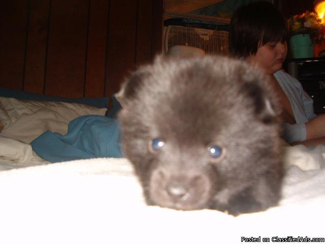 Small/ Toy puppies Chihuahua/ Schipperke mix - Price: contact for ...