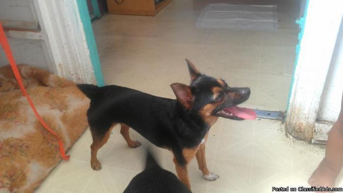 *Smart & adorable 7lbs Mini mix dog * - Price: $55