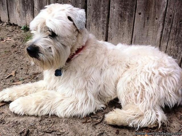 Wheaten Terrier Breeders Machusetts