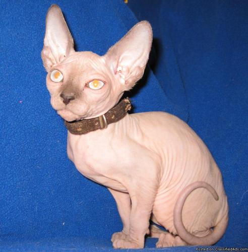 Sphynx kittens available - Price: $1000 00 for sale in Salt