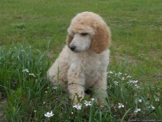 Standard Poodle Puppies AKC Registered for sale in Conroe