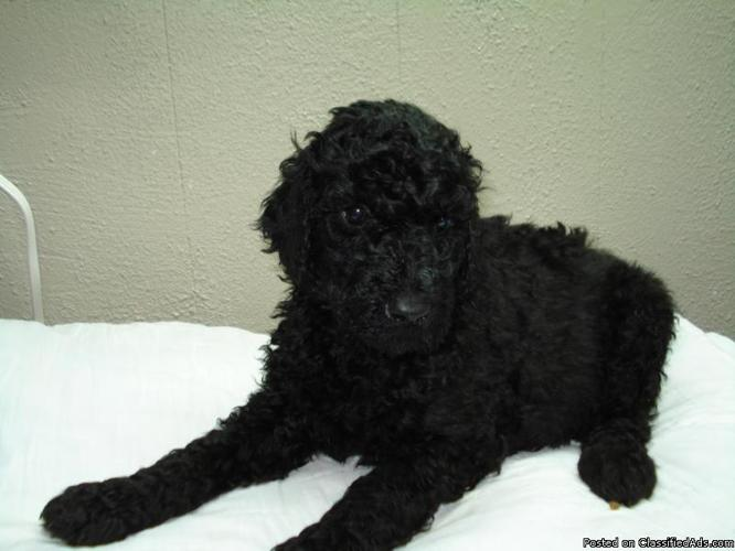 Standard Poodle puppies - Price: 600.00