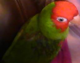 still lost conure - Price: 1500.00 reward
