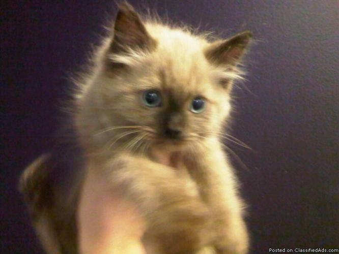 Stunning Ragdoll Kittens For Sale! - Price: $750