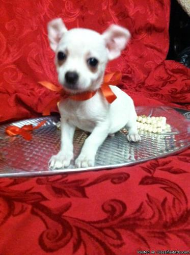 Super Spunky T-Cup Chihuahua Puppy! Must See!! - Price: 250