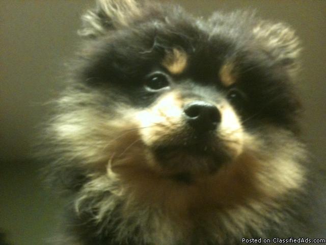 Sweet Pomeranian Pom Puppy - Price: 250