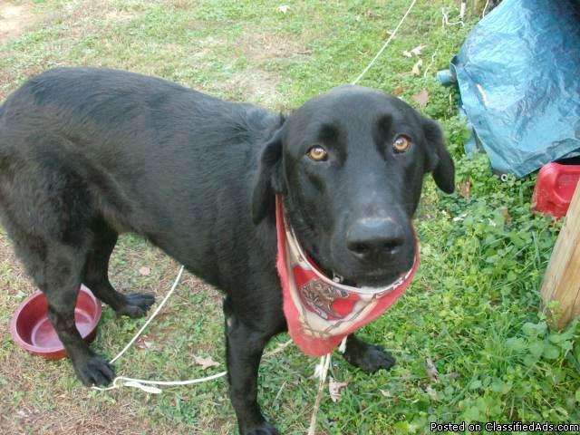 Sweetest male black lab needs a home - Price: free to loving owner