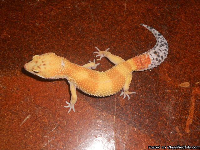 Tangerine Leopard geckos - Price: $100 for sale in Modesto