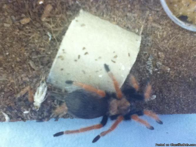 Tarantulas comes complete with cages, bedding & sponge - Price: varies