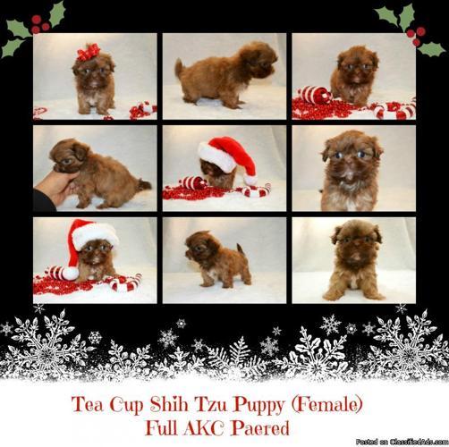 Tea Cup Shih Tzu Puppy