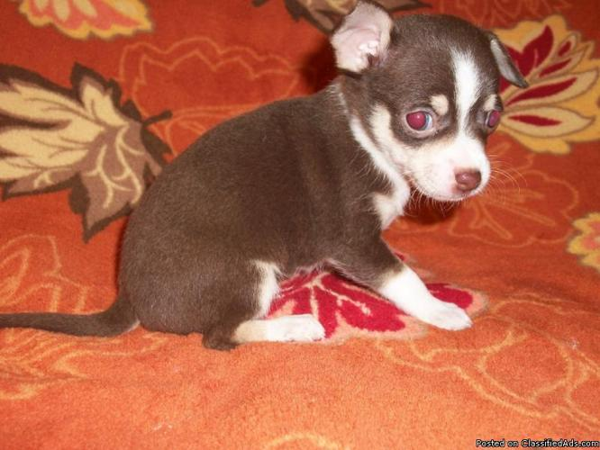 Teacup And Toy Chihuahua Puppies For Sale Florida - Price: 299 for ...