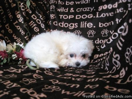 Teacup And Toy Maltese Puppies For Sale South Florida For Sale In