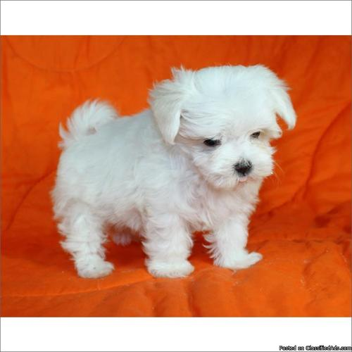 Teacup and toy Maltese Puppy For Sale In Florida for sale in Davie ...