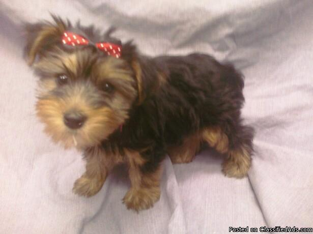 Teacup and Toy Yorkie Puppies For Sale South Florida for sale in ...