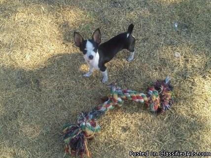 TEACUP CHIHUAHUAS - Price: $100 for sale in Killeen, Texas