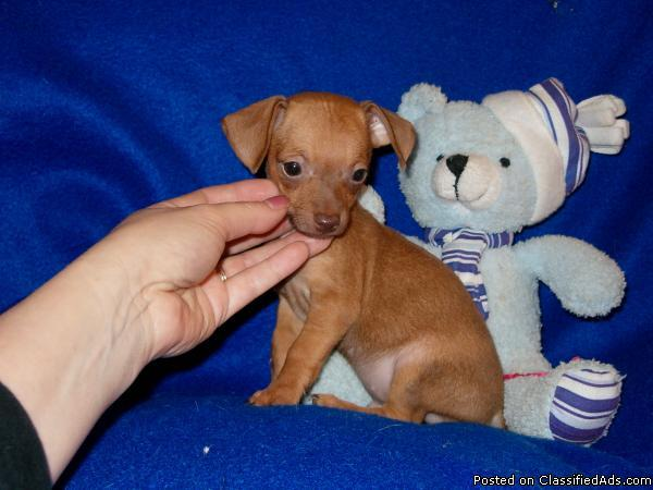 Teacup CHIWEENIE puppies Available $350 - Price: $350 for sale in ...