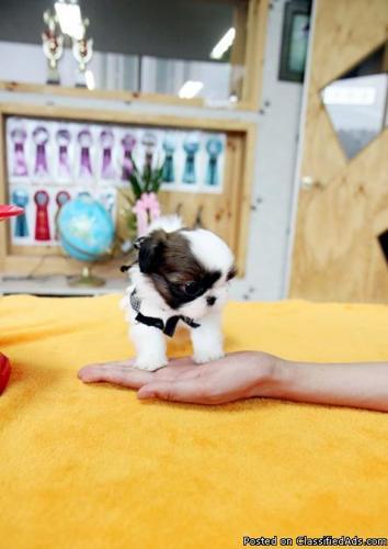 Teacup Handbag Pomeranian puppies - Price: 220