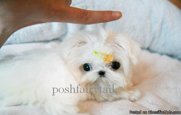 teacup maltese price teacup maltese price 5000 for sale in richmond 8786