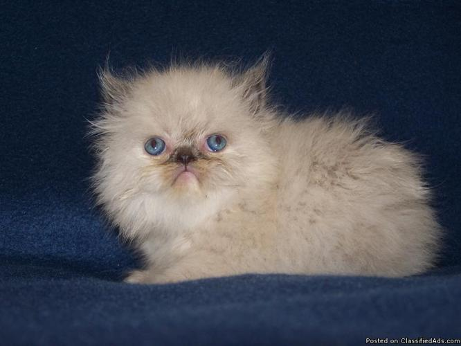 Teacup Persian Himalayan Kittens Brooklyn New York - Price: 600 for ...