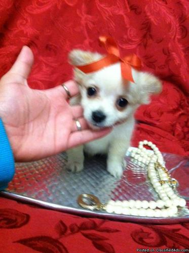 teacup pomeranian puppy! MUST SEE! - Price: 450