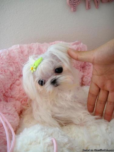 teacup puppy - Price: $2000 and - 115.6KB