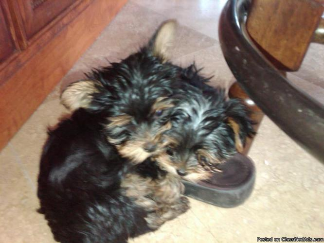 Teacup Yorkie Puppies Price 100000 For Sale In Queen