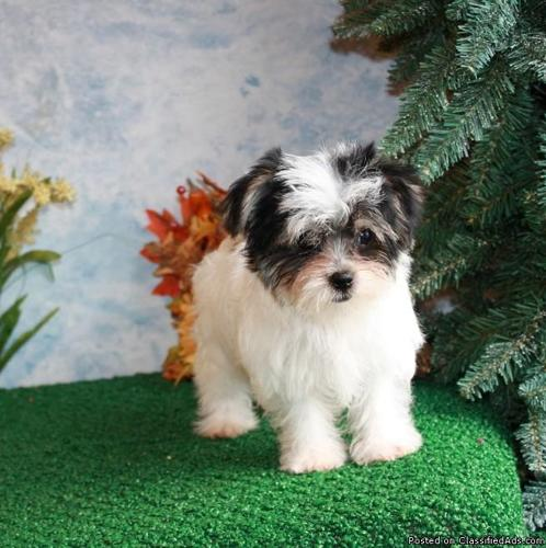 Teddy Bear Parti Morke puppy for sale Mickey - Price: 950