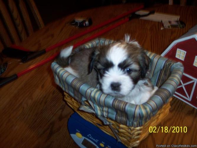 Teddy Bear puppies - Price: $300 for sale in Menasha