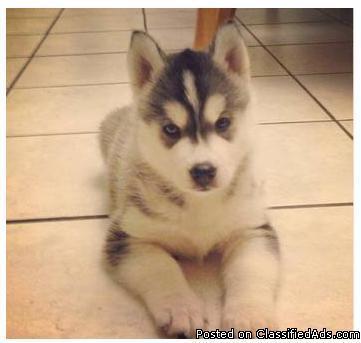 teddy bear Siberian Husky puppies - Price: 300