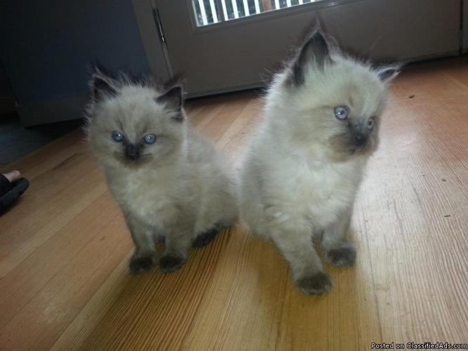 TICA Purebred Ragdoll kittens ready for their forever home