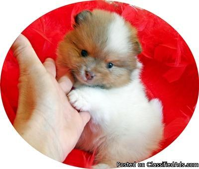 Tiny pomeranian puppies for sale in california - Price: 1500.00