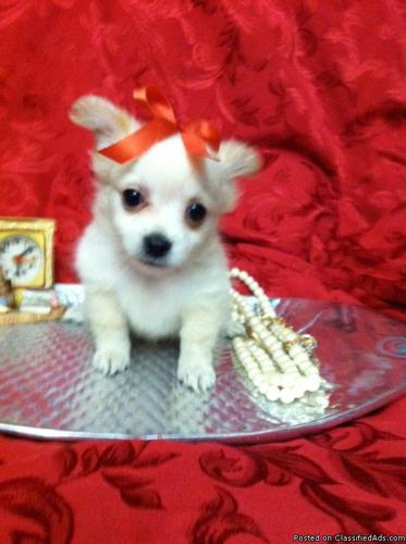 TINY TEACUP POMERANIAN PUPPY FOR CHRISTMAS! - Price: 499