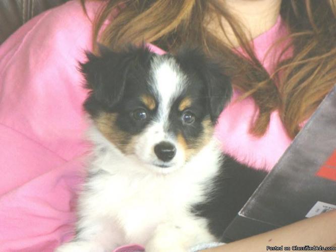 Toy Australian Shepherd pups - Price: $300-400