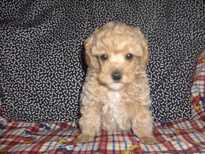toy poodles for sale in michigan