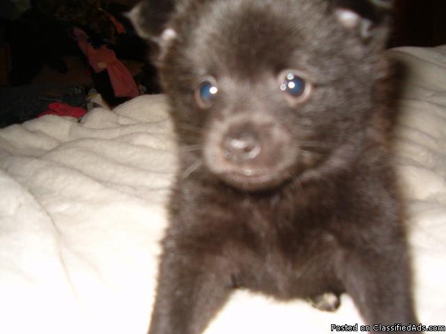 Toy/ Small Chihuahua Schipperke mix puppies - Price: contact for price ...