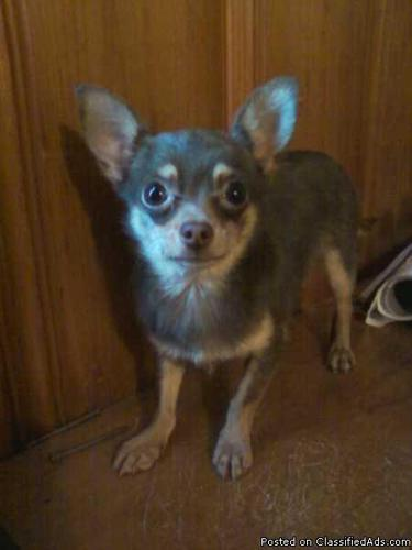 Toy / Teacup Chihuahua for STUD!!! - Price: 200 / POL