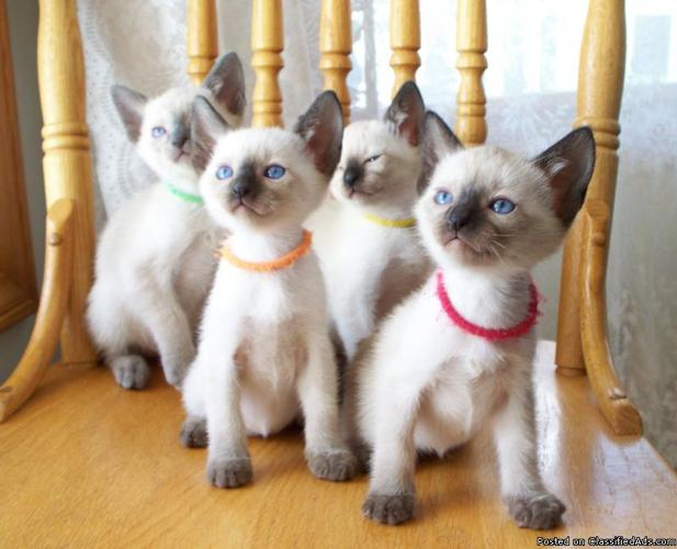 Traditional Siamese Kittens - Registered - Price: 350 00 for